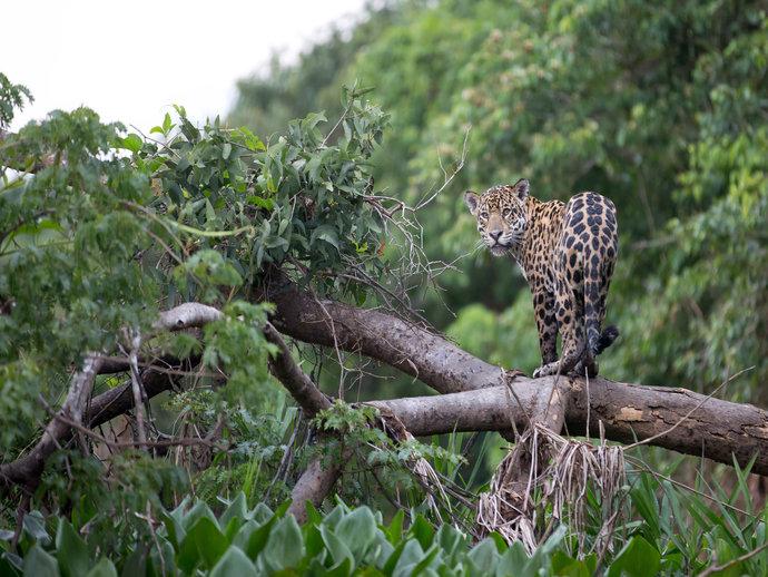 Prepare-se para ver as mais incríveis espécies de fauna e flora em um safári pelo Pantanal